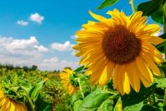 Sunflowers-Foto-Stefan-Milenković