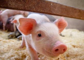 farma svinja