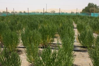 fully-grown-salicornia-a-type-of-halophyte-with-seeds-ready-to-be-harvested
