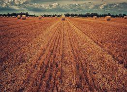 njiva_pšenica