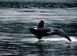 orka_životinja_okean