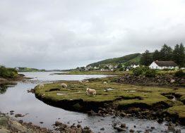 ovce_škotska