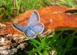 leptir_plavi_priroda